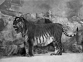 old newspaper photo of a tiger
