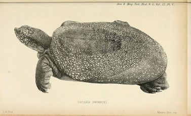 woodcut of a softshell turtle