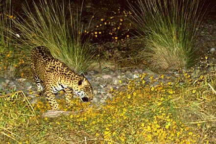 photo of a jaguar