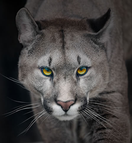close photo of a puma looking directly out of the frame