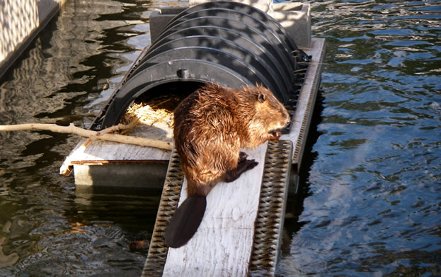photo of a beaver preening on a manmade platform over water