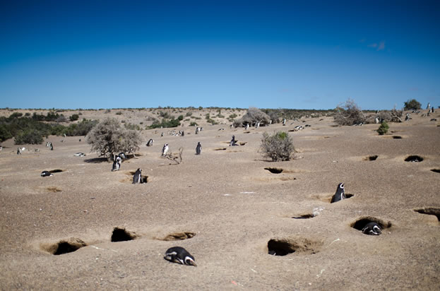 photo of penguins in a desert, burrows evident