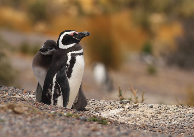 photo of a penguin chick and its mother