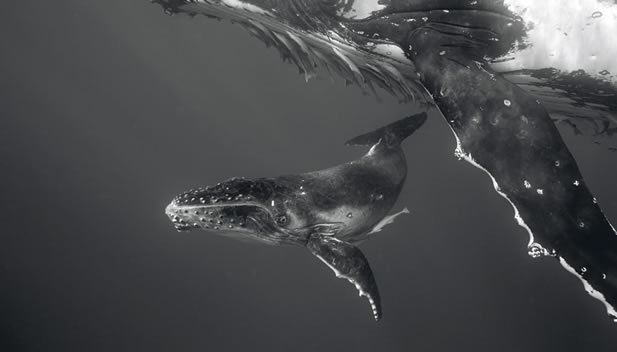 close-up underwater photo of a young whale swimming close to a larger one that is festooned with remoras