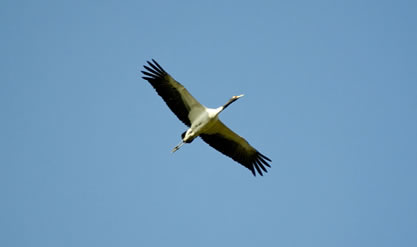 photo of a bird as seen from below in a clear sky