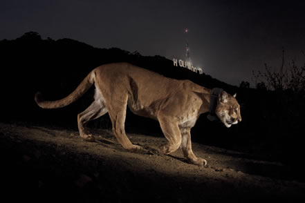 photo of a lion, the hills of Hollywood and the Hollywood sign behind
