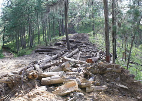 photo of a trail through an immature forest covered with logging slash