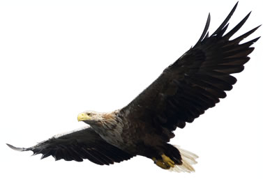 photo of a flying eagle